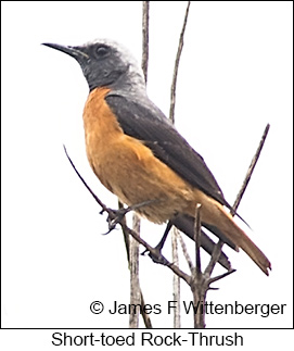 Short-toed Rock-Thrush - © James F Wittenberger and Exotic Birding LLC