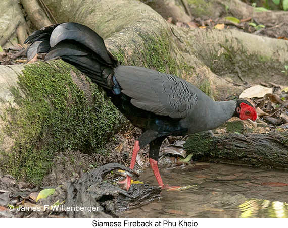 Siamese Fireback - © James F Wittenberger and Exotic Birding Tours