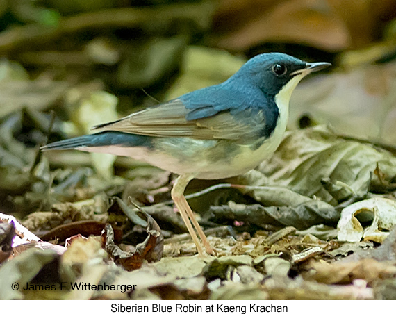 Siberian Blue Robin - © James F Wittenberger and Exotic Birding Tours