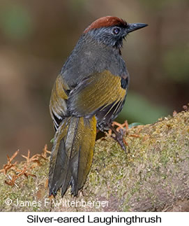 Silver-eared Laughingthrush - © James F Wittenberger and Exotic Birding Tours