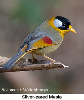 Silver-eared Mesia - © James F Wittenberger and Exotic Birding LLC