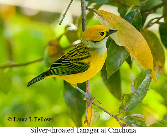 Silver-throated Tanager - © Laura L Fellows and Exotic Birding LLC
