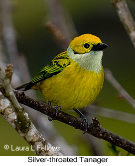 Silver-throated Tanager - © Laura L Fellows and Exotic Birding Tours