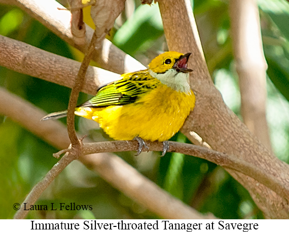 Silver-throated Tanager - © The Photographer and Exotic Birding LLC