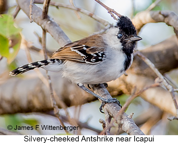 Silvery-cheeked Antshrike - © The Photographer and Exotic Birding LLC