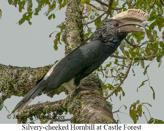 Silvery-cheeked Hornbill - © James F Wittenberger and Exotic Birding Tours