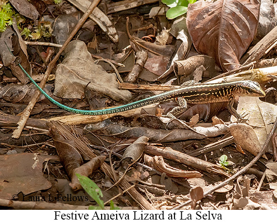 Skink - © Laura L Fellows and Exotic Birding Tours