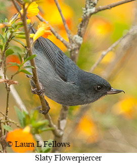 Slaty Flowerpiercer - © Laura L Fellows and Exotic Birding Tours