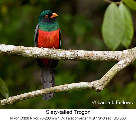 Slaty-tailed Trogon - © Laura L Fellows and Exotic Birding Tours
