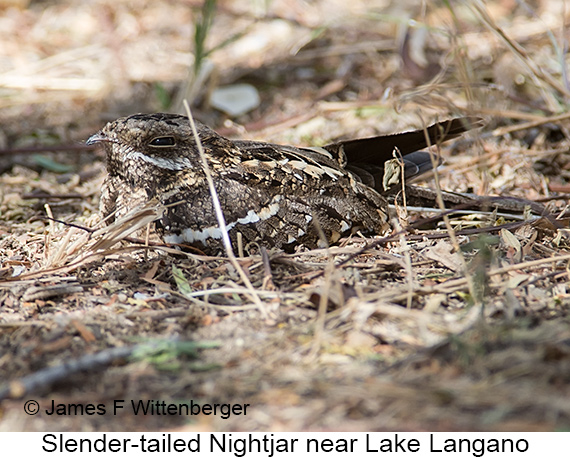 Slender-tailed Nightjar - © The Photographer and Exotic Birding LLC