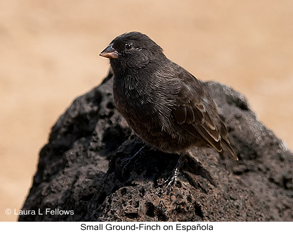 Small Ground-Finch - © Laura L Fellows and Exotic Birding Tours