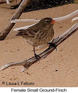 Small Ground-Finch - © Laura L Fellows and Exotic Birding LLC