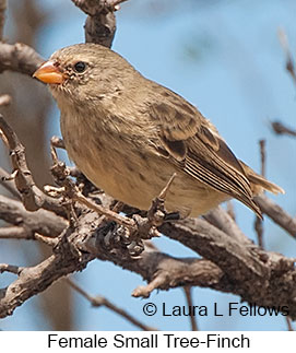 Small Tree-Finch - © Laura L Fellows and Exotic Birding Tours
