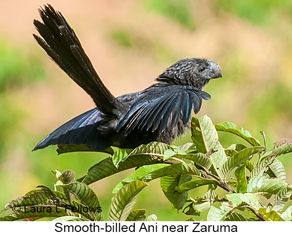 Smooth-billed Ani - © The Photographer and Exotic Birding LLC