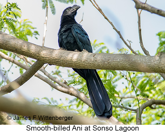 Smooth-billed Ani - © James F Wittenberger and Exotic Birding LLC