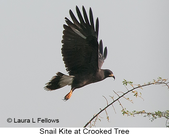Snail Kite - © Laura L Fellows and Exotic Birding LLC