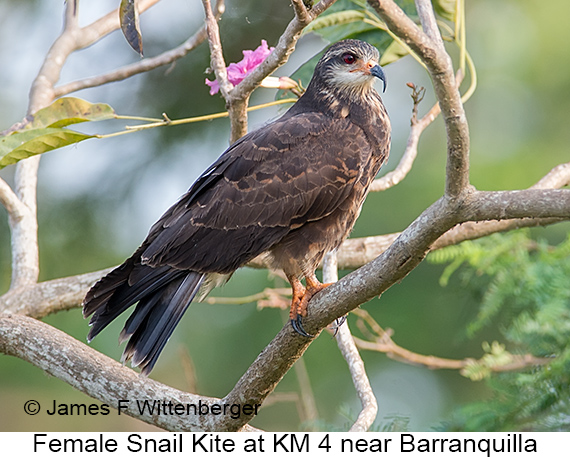 Snail Kite - © The Photographer and Exotic Birding LLC