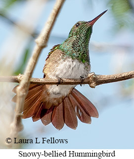 Snowy-bellied Hummingbird - © Laura L Fellows and Exotic Birding Tours
