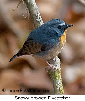 Snowy-browed Flycatcher - © James F Wittenberger and Exotic Birding Tours