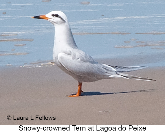 Snowy-crowned Tern - © Laura L Fellows and Exotic Birding LLC