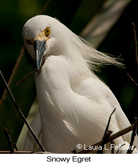 Snowy Egret - © Laura L Fellows and Exotic Birding Tours