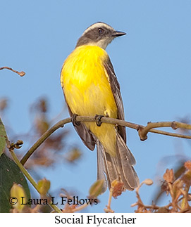 Social Flycatcher - © Laura L Fellows and Exotic Birding Tours