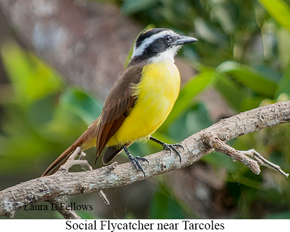 Social Flycatcher - © Laura L Fellows and Exotic Birding LLC
