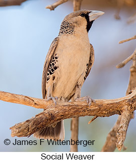 Sociable Weaver - © James F Wittenberger and Exotic Birding LLC