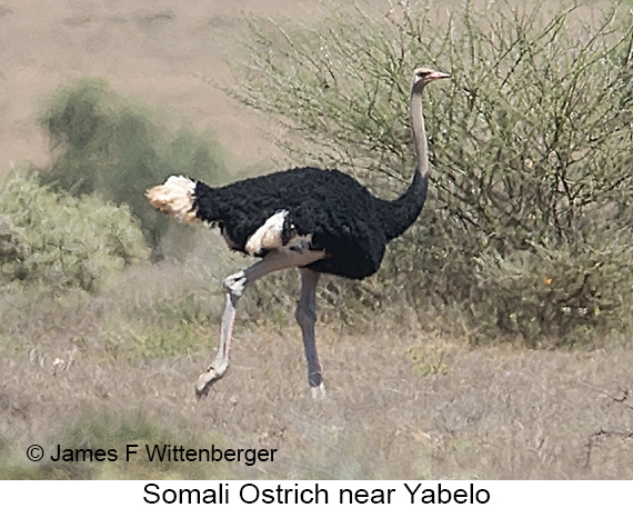 Somali Ostrich - © James F Wittenberger and Exotic Birding LLC