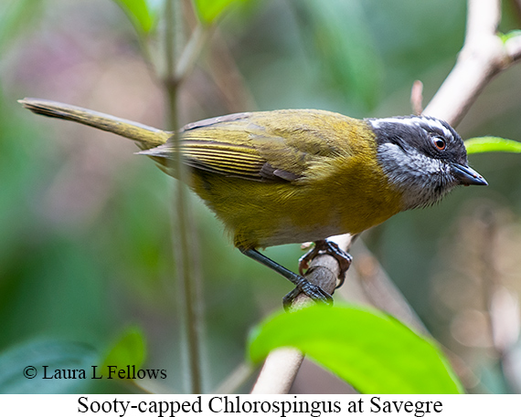 Sooty-capped Chlorospingus - © The Photographer and Exotic Birding LLC