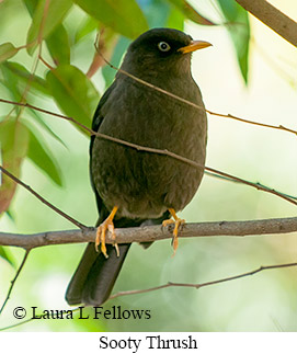 Sooty Thrush - © Laura L Fellows and Exotic Birding LLC