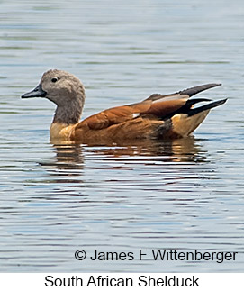 South African Shelduck - © James F Wittenberger and Exotic Birding LLC
