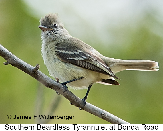 Southern Beardless-Tyrannulet - © James F Wittenberger and Exotic Birding LLC