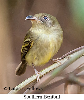 Southern Bentbill - © Laura L Fellows and Exotic Birding Tours