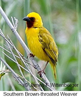 Southern Brown-throated Weaver - © James F Wittenberger and Exotic Birding LLC