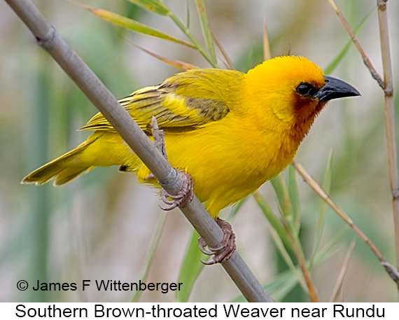 Southern Brown-throated Weaver - © The Photographer and Exotic Birding LLC