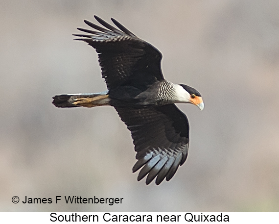 Southern Caracara - © James F Wittenberger and Exotic Birding LLC