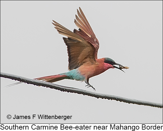 Southern Carmine Bee-eater - © Laura L Fellows and Exotic Birding Tours