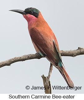 Southern Carmine Bee-eater - © James F Wittenberger and Exotic Birding LLC