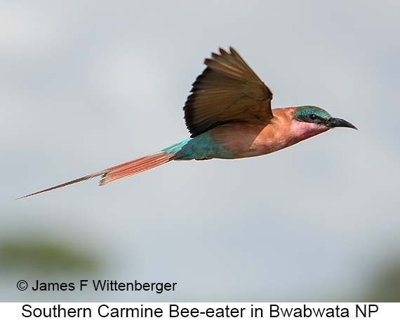 Southern Carmine Bee-eater - © The Photographer and Exotic Birding LLC