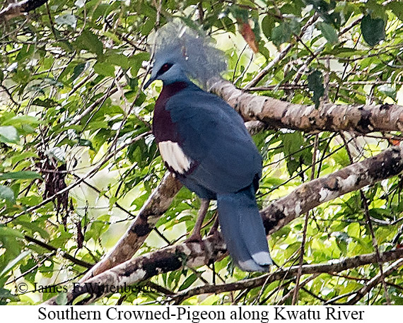 Southern Crowned-Pigeon - © James F Wittenberger and Exotic Birding Tours
