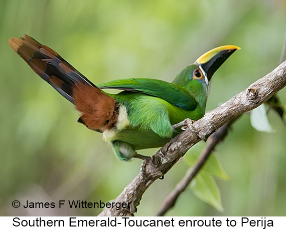 Southern Emerald-Toucanet - © James F Wittenberger and Exotic Birding LLC