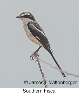 Southern Fiscal - © James F Wittenberger and Exotic Birding LLC
