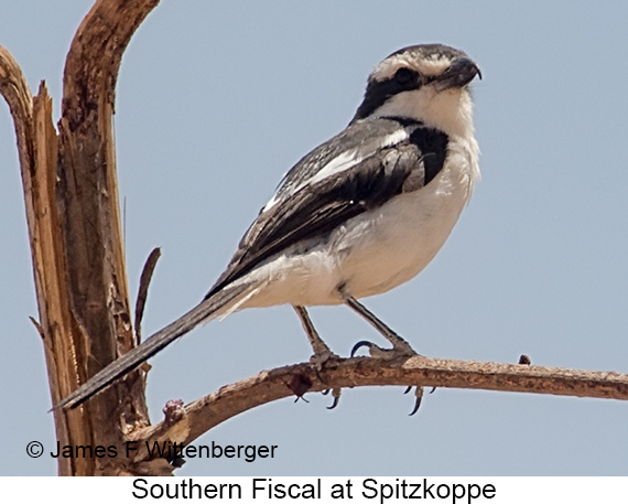 Southern Fiscal - © The Photographer and Exotic Birding LLC
