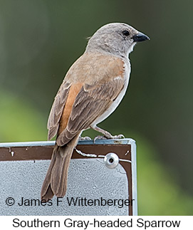 Southern Gray-headed Sparrow - © James F Wittenberger and Exotic Birding LLC