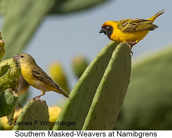 Southern Masked-Weaver - © The Photographer and Exotic Birding LLC