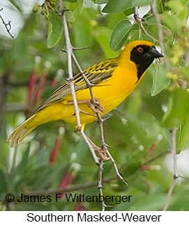 Southern Masked-Weaver - © James F Wittenberger and Exotic Birding LLC