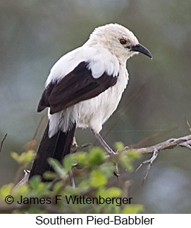 Southern Pied-Babbler - © James F Wittenberger and Exotic Birding LLC