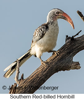 Southern Red-billed Hornbill - © James F Wittenberger and Exotic Birding LLC