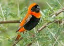 Southern Red Bishop - © James F Wittenberger and Exotic Birding LLC
